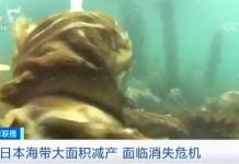 本世纪中叶,日本的海带可能永远消失!原因竟是